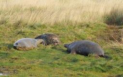 Atlantic Grey Seal Stock Image