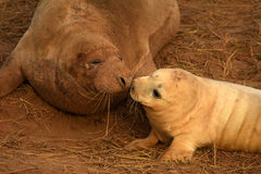 Atlantic grey seal mother and pup kissing Stock Photo