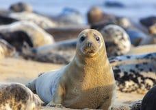Free Atlantic Grey Seal On The Beach Stock Photo - 143499450
