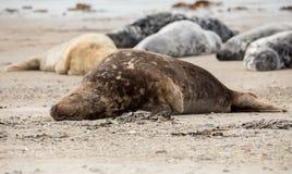 Atlantic Grey Seal portrait Stock Image