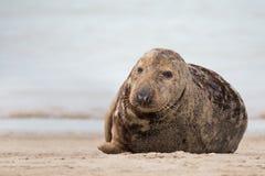 Atlantic Grey Seal portrait Royalty Free Stock Images