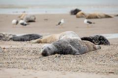 Atlantic Grey Seal portrait Royalty Free Stock Photography