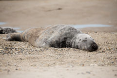 Atlantic Grey Seal portrait Royalty Free Stock Image