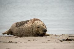 Atlantic Grey Seal portrait Royalty Free Stock Images