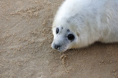 Atlantic Grey Seal pup. Close up of a single grey seal pup lying on a sandy beach looking up into camera Royalty Free Stock Image