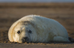 Atlantic Grey Seal Pup. Waiting for Mom to return Royalty Free Stock Image