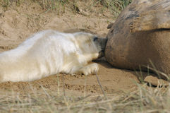 Atlantic Grey Seal Pup Feeding Stock Image