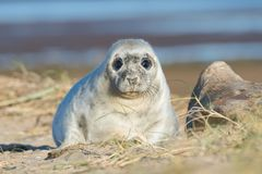 Atlantic Grey Seal Pup Halichoerus grypus. In sand dunes Royalty Free Stock Images