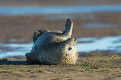 Atlantic Grey Seal Pup Halichoerus grypus stock images