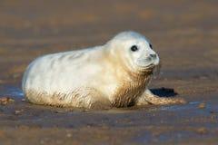 Atlantic Grey Seal Pup Halichoerus grypus Royalty Free Stock Image
