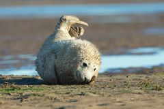 Atlantic Grey Seal Pup Halichoerus grypus Royalty Free Stock Images