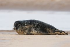 Atlantic Grey Seal Pup Halichoerus grypus royalty free stock photos