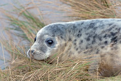 Atlantic Grey Seal Pup (halichoerus grypus) Royalty Free Stock Images