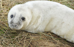 Atlantic Grey Seal Pup Royalty Free Stock Photos