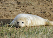 Atlantic Grey Seal Pup Stock Images