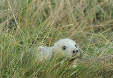 Atlantic Grey Seal Pup Royalty Free Stock Photo
