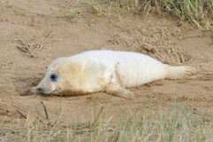 Atlantic Grey Seal Pup Stock Photo