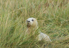 Atlantic Grey Seal Pup Stock Photos