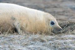 Atlantic Grey Seal Pup (halichoerus grypus) Stock Image
