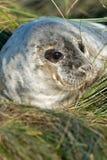 Atlantic Grey Seal Pup (halichoerus grypus) Royalty Free Stock Image