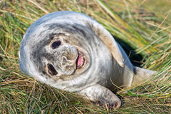 Atlantic Grey Seal Pup (halichoerus grypus) Stock Photography