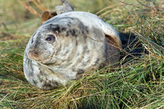 Atlantic Grey Seal Pup (halichoerus grypus) Stock Photos