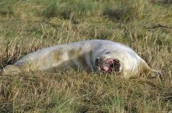 Atlantic Grey Seal Pup Stock Image