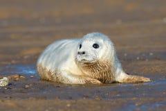 Atlantic Grey Seal Pup Halichoerus grypus Stock Images