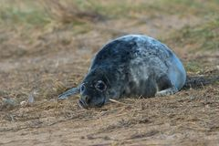 Atlantic Grey Seal Pup Halichoerus grypus stock photos