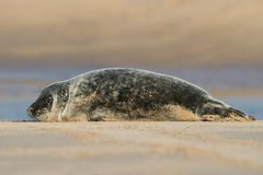 Atlantic Grey Seal Pup Halichoerus grypus royalty free stock images