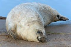 Atlantic Grey Seal Pup (halichoerus grypus) Stock Photography