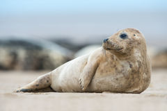 Atlantic Grey Seal Pup (Halichoerus Grypus) Royalty Free Stock Image