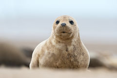 Atlantic Grey Seal Pup (Halichoerus Grypus) Stock Images
