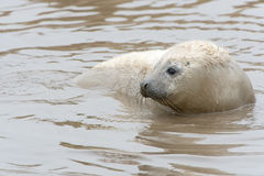 Atlantic Grey Seal Pup (halichoerus grypus) Royalty Free Stock Photos