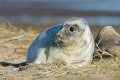 Atlantic Grey Seal Pup Halichoerus grypus royalty free stock photo