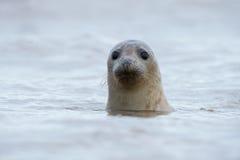 Atlantic Grey Seal (Halichoerus Grypus) Stock Photos