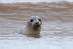 Atlantic Grey Seal (Halichoerus Grypus) Royalty Free Stock Photos