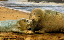 Atlantic Grey Seals. A female Atlantic Grey Seal with her pup at Donna Nook in Lincolnshire, England Stock Photos