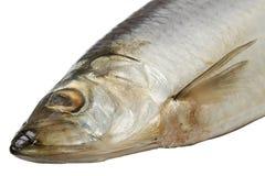 Atlantic herring Stock Photography