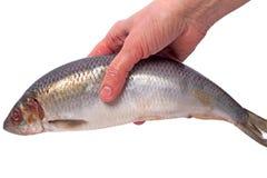 Atlantic herring in the hand Royalty Free Stock Photos