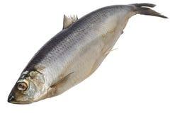 Atlantic herring on white Royalty Free Stock Photo