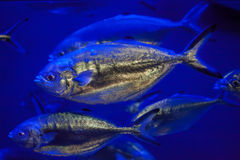 Atlantic horse mackerel (Trachurus trachurus) Royalty Free Stock Image