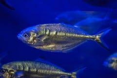 Atlantic horse mackerel (Trachurus trachurus) Royalty Free Stock Images