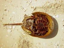 Atlantic horseshoe crab limulus polyphemus Royalty Free Stock Image