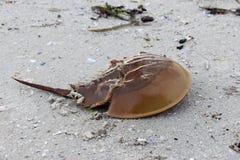 Atlantic horseshoe crab Royalty Free Stock Images