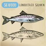 Atlantic or landlocked salmon sketch. Ouananiche Royalty Free Stock Photo