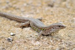 Atlantic lizard. Lanzarote, Canary Islands. Royalty Free Stock Photo