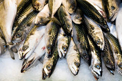 Atlantic mackerel Stock Images