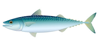 Atlantic Mackerel Stock Photography