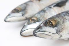 Atlantic mackerel fish Royalty Free Stock Photo